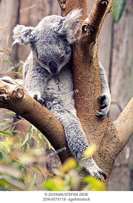 Sleeping Koala, Duisburg Zoo, Germany