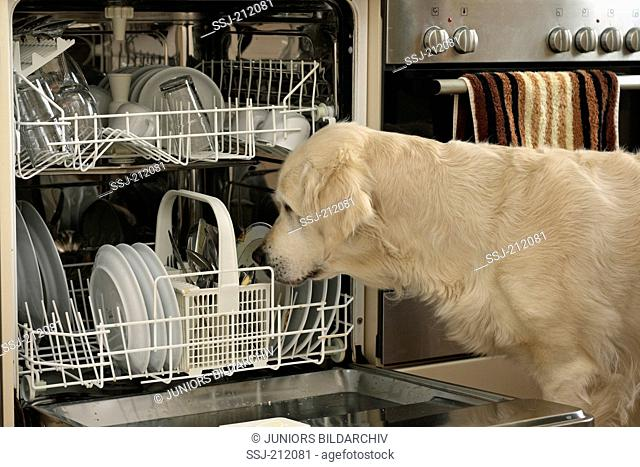 Golden Retriever. Bitch looking in a dishwasher. Germany