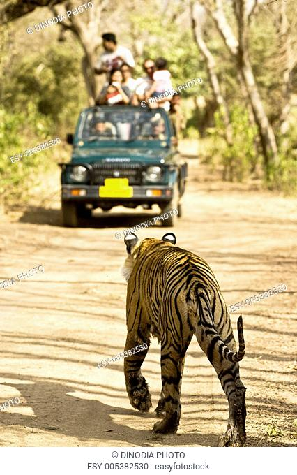 Tiger panthera tigris in front of tourists jeep ; Ranthambore tiger reserve ; Rajasthan ; India