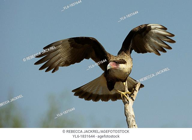 A crested caracara spreads his wings while perched on a branch