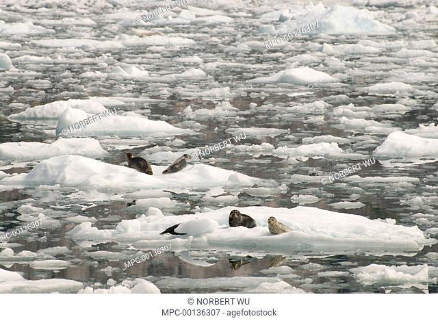Harbor Seal (Phoca vitulina) mothers and pups hauled out on icebergs, LeConte Glacier, southeast Alaska