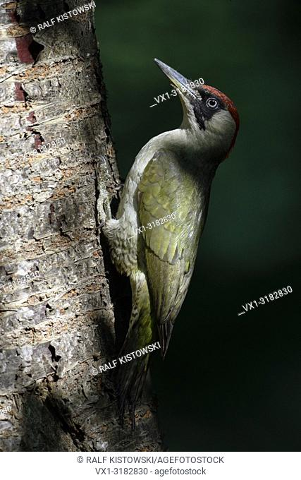 Green Woodpecker ( Picus viridis ), perched on a tree trunk, in typical pose, Europe