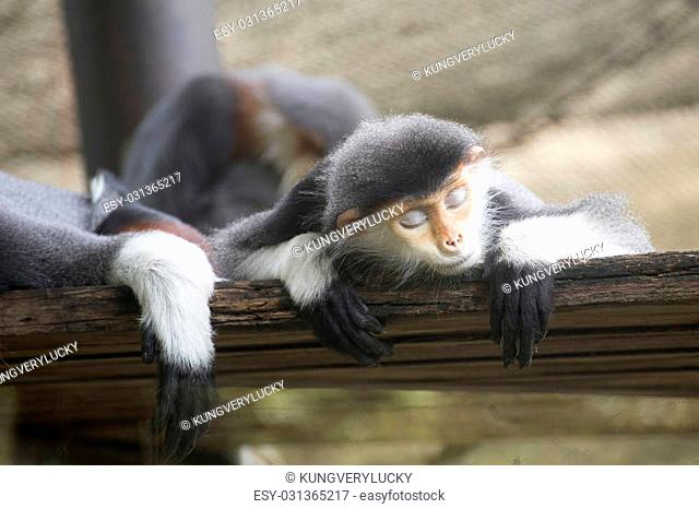 Family of Red-shanked douc langur sleeping