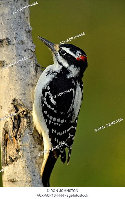 Hairy woodpecker (Picoides villosus), Fort Providence Territorial Park, Northwest Territories, Canada