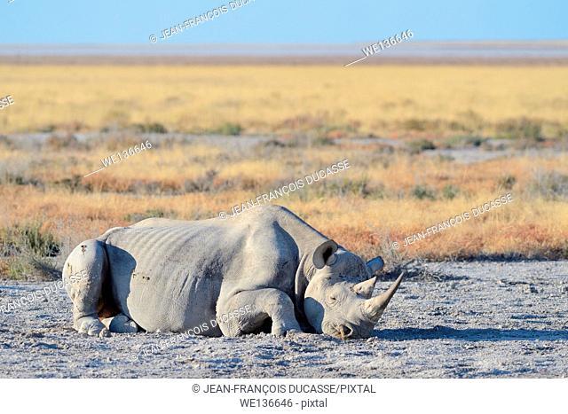 Black rhinoceros (Diceros bicornis), adult male, lying on the ground, sleeping, Etosha National Park, Namibia, Africa