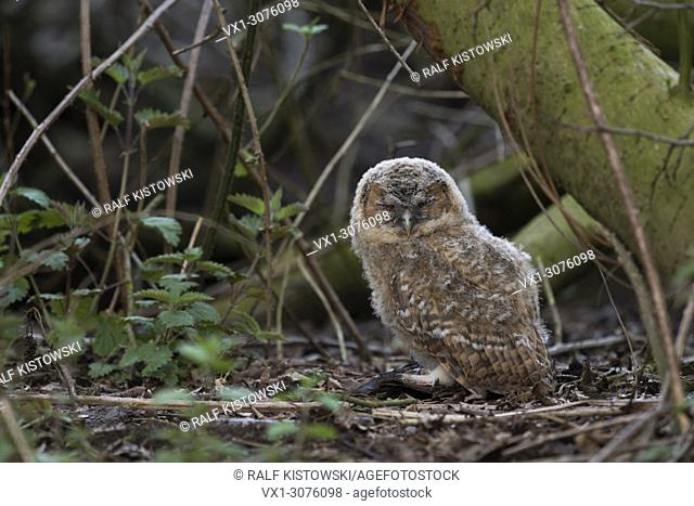 Tawny Owl ( Strix aluco ), very young chick, sitting on the ground, in undergrowth, trying to hide, wildlife, Europe