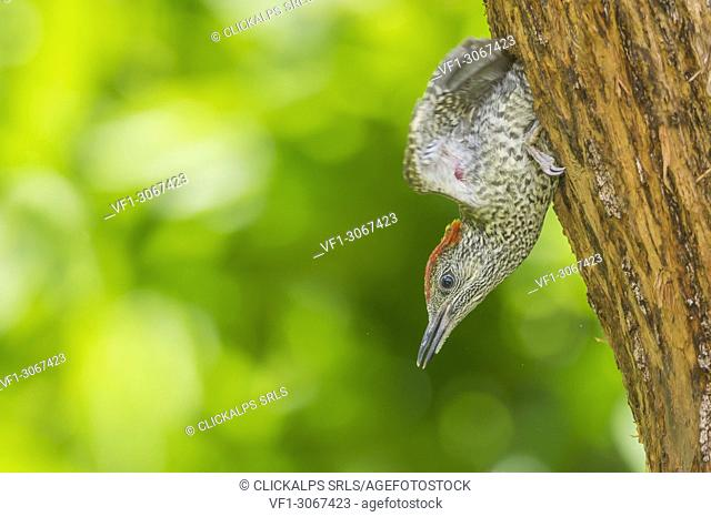 Young european green woodpecker leave the nest, Trentino Alto-Adige, Italy