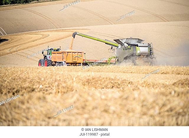 Harvest view of combine harvester cutting summer wheat field crop and tractor trailer on farm
