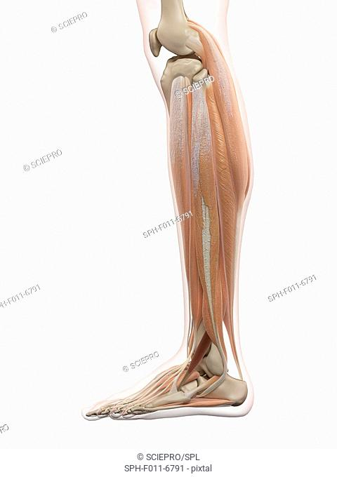 Human leg muscles, computer illustration