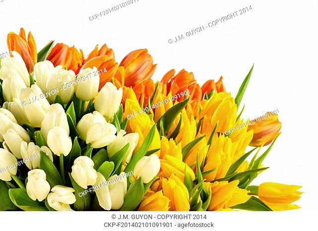 Bouquets of colorful tulip flowers spring freshness isolated on white