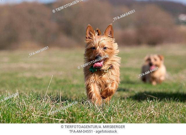 running Australian Terrier