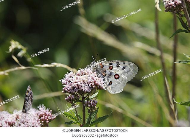 Apollo Butterfly (Parnassius apollo), Vastervik, Smaland, Sweden