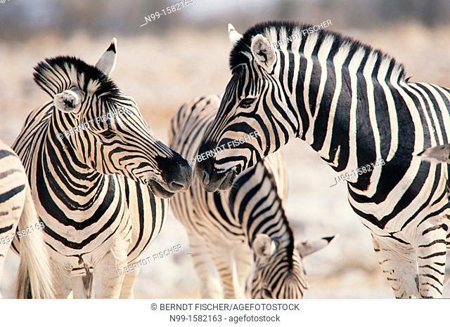 Burchell`s zebra Hippotigris quagga, two stallions rivalling, National Park Etosha, Namibia