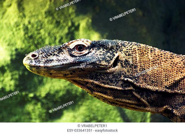 Detail photo of the Komodo dragon (Varanus komodoensis). Animal theme