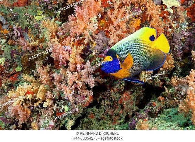 Yellowmask Angelfish, Pomacanthus xanthometopon, North Male Atoll, Maldives