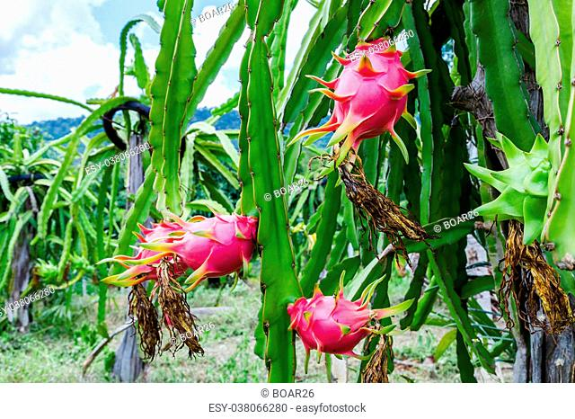 Colorful dragon fruit is on the tree