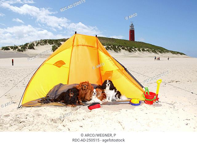 Cavalier King Charles Spaniel blenheim ruby black-and-tan and tricolour at beach Texel Island Netherlands beach shelter