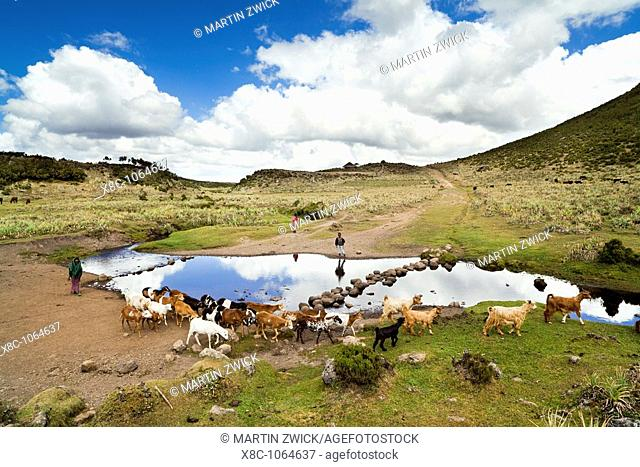 Goat and horse herd tended by oromo children near Kotera Plain  The Bale Mountains NP is known for one of the last populations of the Ethiopian Wolf canis...