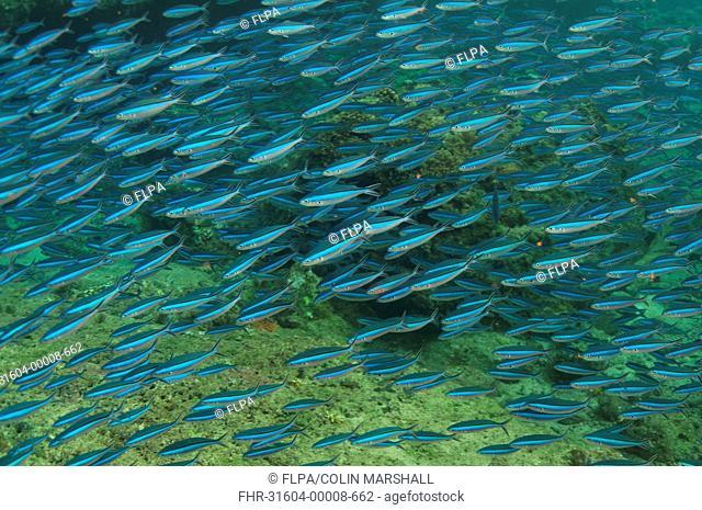 Bluestreak Fusilier (Pterocaesio tile) adults, shoal swimming, Mutiny Point, Wetar Island, Barat Daya Islands, Lesser Sunda Islands, Maluku Province, Indonesia