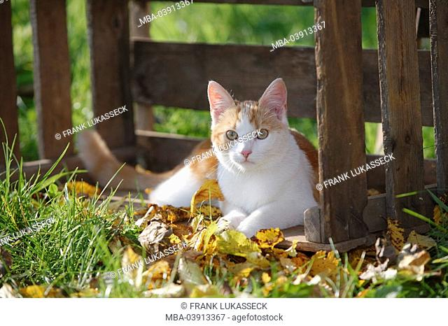 House-cat, lying, wood-box, fall foliage