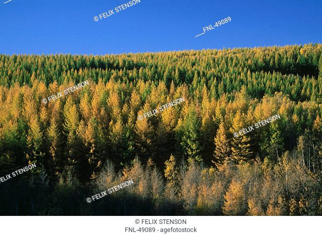 Autumn trees in forest, Bashang, Inner Mongolia, China