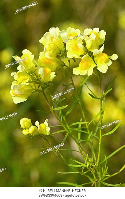 common toadflax, yellow toadflax, ramsted, butter and eggs (Linaria vulgaris), inflorescence, Germany