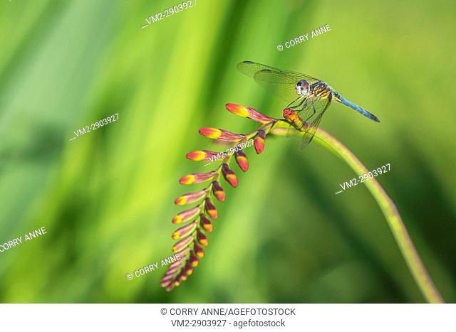 A dragonfly perched on a lucifer flower in the sunshine. Fraser Valley, British Columbia, Canada