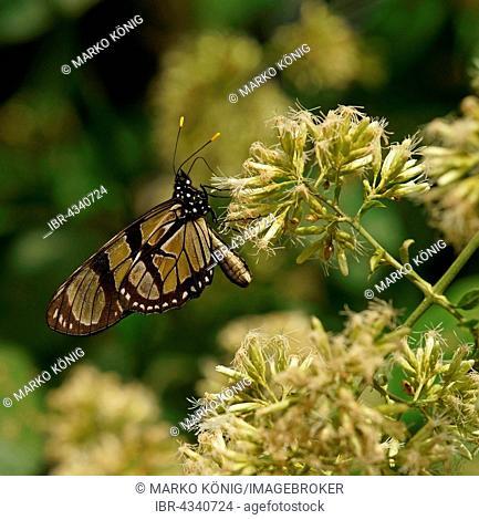 Nymphalidae (Nymphidae) Tropical butterfly, Melantho Tigerwing (Thyridia psidii), Iguazú National Park, Paraná, Brazil