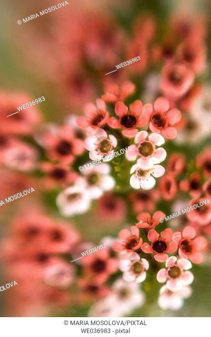 Hoya bella, wax flower. Maryland, USA