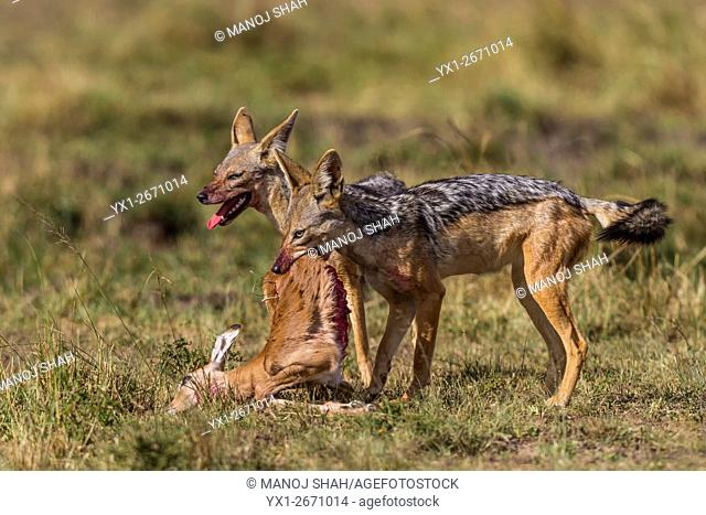 Blac-backed Jackals feeding on an Impala kill, Masai Mara National Reserve, Kenya