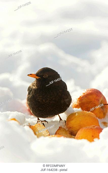 Common Blackbird in snow / Turdus merula