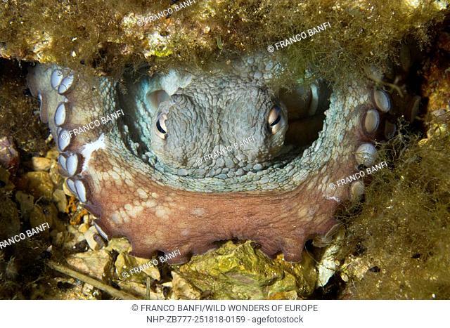 Octopus (Octopus vulgaris) inside its den, Larvotto Marine Reserve, Monaco, Mediterranean Sea Mission: Larvotto marine Reserve