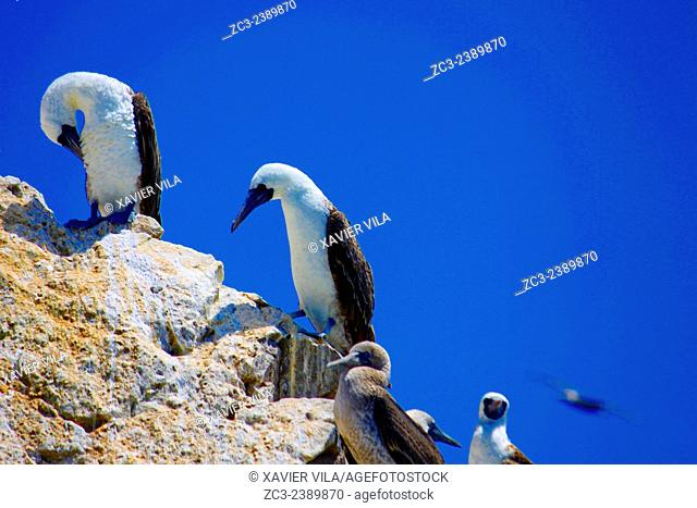 Peruvian Boobies, Sula Variegata, in the Paracas National Reserve and the Ballestas Islands. This is a protected area in the province of Pisco in Peru since...