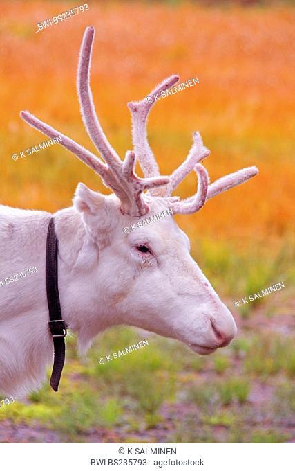 reindeer, caribou Rangifer tarandus, portrait of an albino with collar in front of autumn colours, Finland, Lapland, Levi Lapp Village