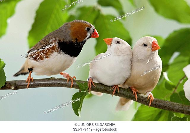 Zebra Finch (Taeniopygia guttata), three adults on a twig