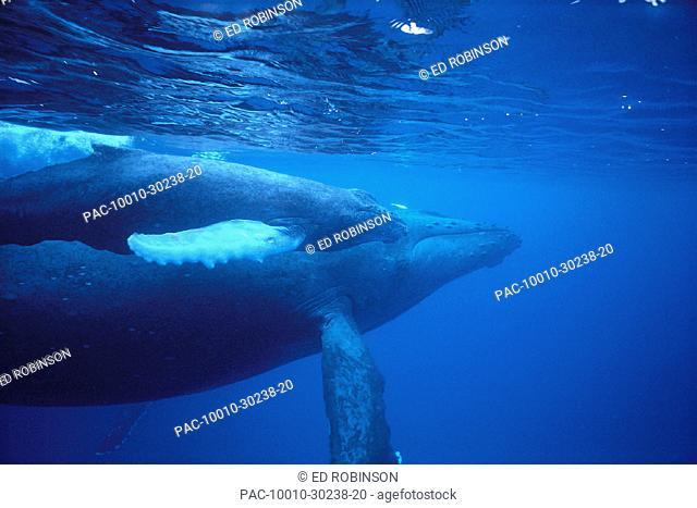 HI, side view of Humpback Whales u/w, mother & calf (Megaptera novaeangliae)