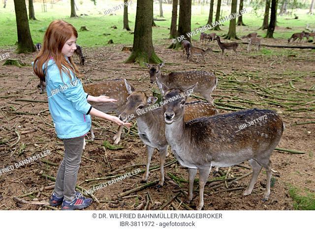 Child, girl feeding deer, Poing Wildlife Park, Upper Bavaria, Bavaria, Germany