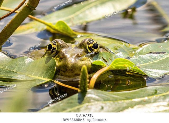 European edible frog, common edible frog (Rana kl. esculenta, Rana esculenta, Pelophylax esculentus), peering between water plants, Germany, Bavaria