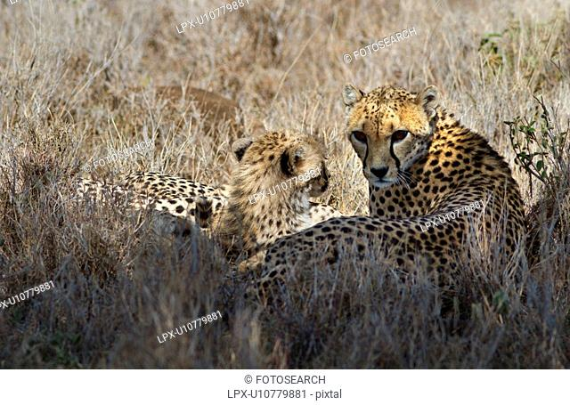 Close up of two cheetahs, mother and cub, lying in long grass, Lewa Downs, Kenya, East Africa