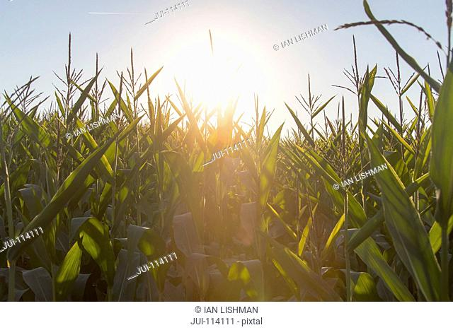 Close Up Of Maize Crop Growing In Field At Sunset