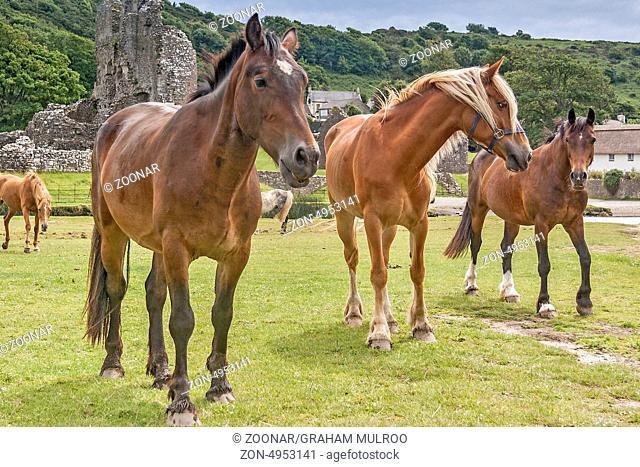 Horses At Play Ogmore Castle UK