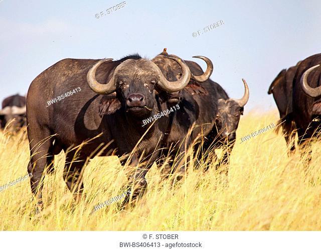 African buffalo (Syncerus caffer), herd in savannah, Kenya, Masai Mara National Park