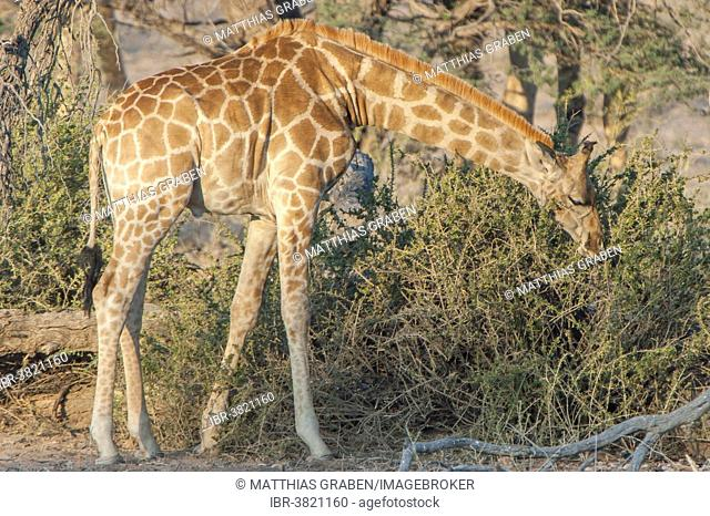 A giraffe (Giraffa camelopardalis) feeding on a bush, Kgalagadi Transfrontier Park, Northern Cape, South Africa