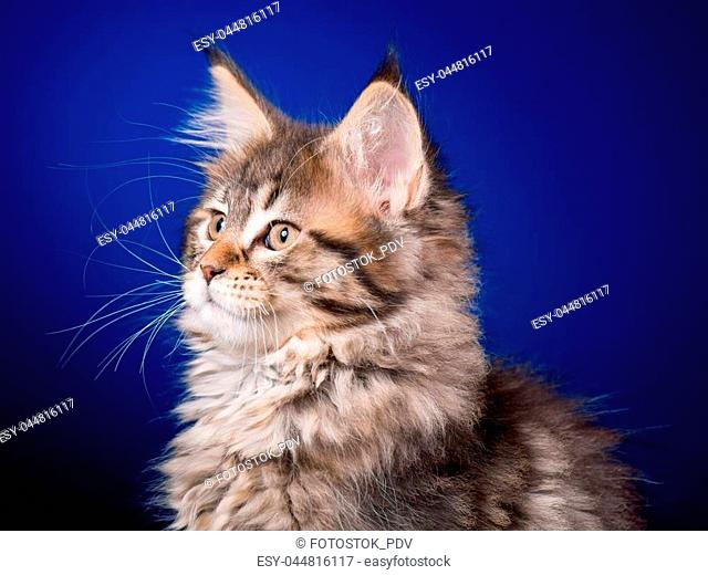 Maine Coon kitten 2 months old sitting on scratching post for cats. Studio photo of beautiful black tabby domestic kitty on blue background