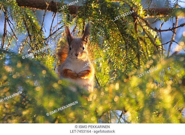 Squirrel in Joensuu, Finland