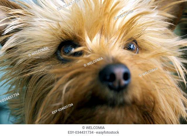 Silky Terrier Portrait. 3 Years Old Australian Silky Terrier Closeup