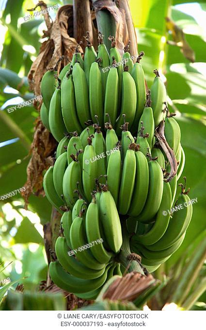 Bananas on the tree, Costa Rica
