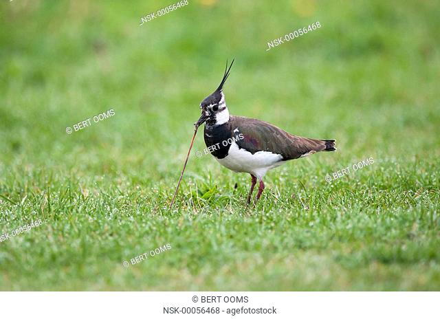 Northern Lapwing (Vanellus vanellus) pulling an earthworm out of the grass at maximum tension, The Netherlands, Drenthe, Bargerveen National Park