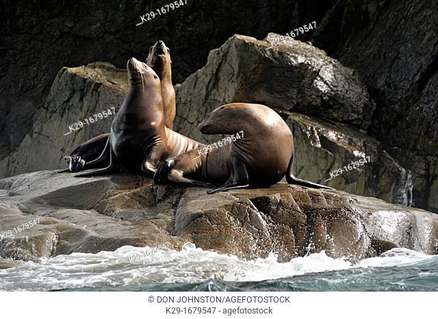 Steller sea lion Eumetopias jubatus Haulout at Ashby Point, Hope Island, Vancouver Is, British Columbia, Canada