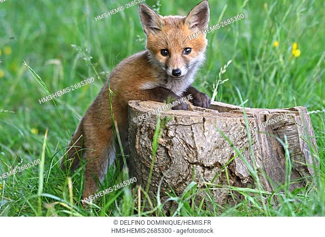 France, Doubs, red fox (Vulpes vulpes) fox in a meadow playing on a piece of wood